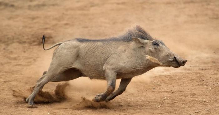 Mơ thấy heo rừng/lợn rừng đánh con gì dễ trúng lớn? 1445241945