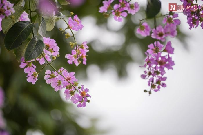 Ngủ mơ thấy hoa bằng lăng mang điềm báo gì? Nên đánh con gì? 694086936