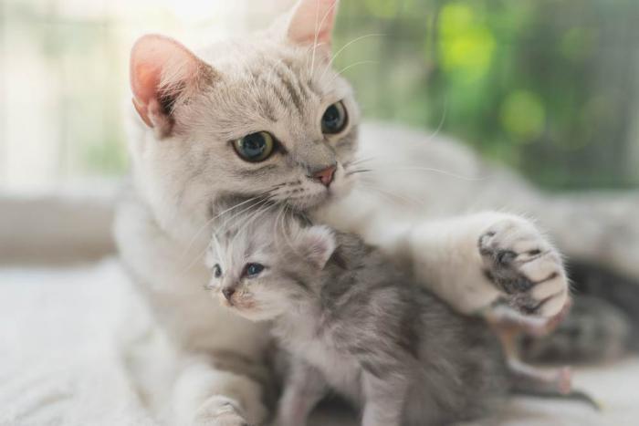 Bùa nhau mèo có tác dụng gì? Có thực sự đem lại may mắn không? 1072673404