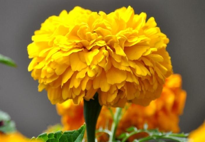 Mơ thấy hoa vạn thọ đánh gì để trúng lớn khi chơi lô đề? 1470518557