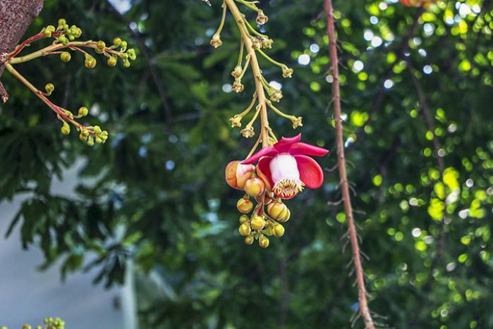Ý nghĩa của cây sala theo phong thủy 1071331552