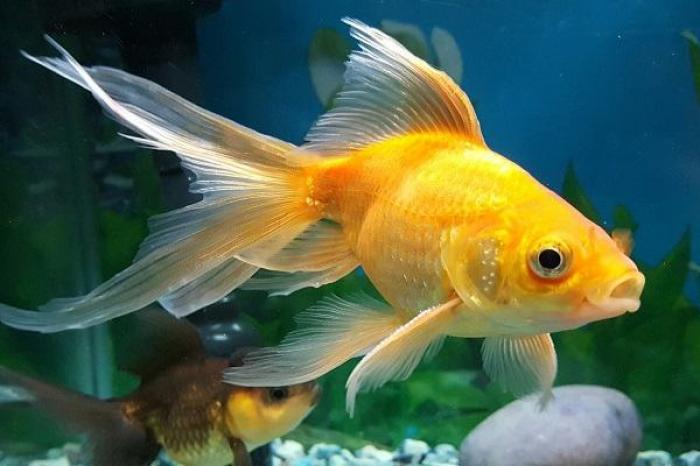 Mơ thấy cá vàng nên đánh con số nào để trúng lớn?  998569834