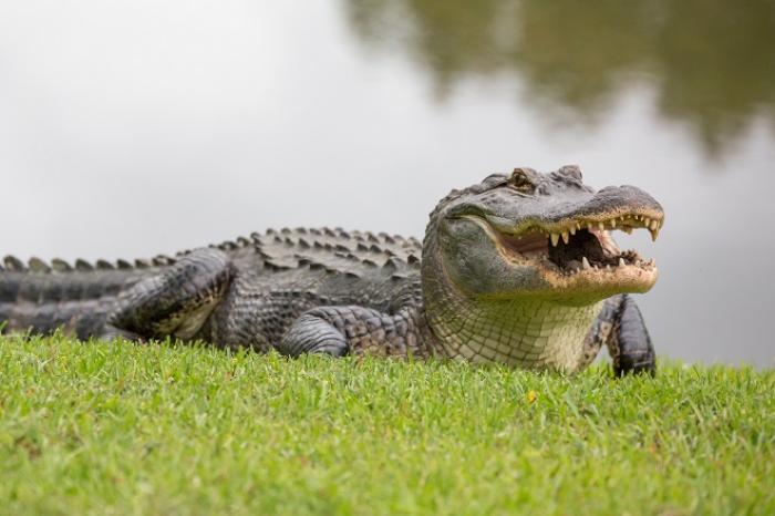 Nằm mơ thấy cá sấu đánh con gì trúng số độc đắc? 1149058362
