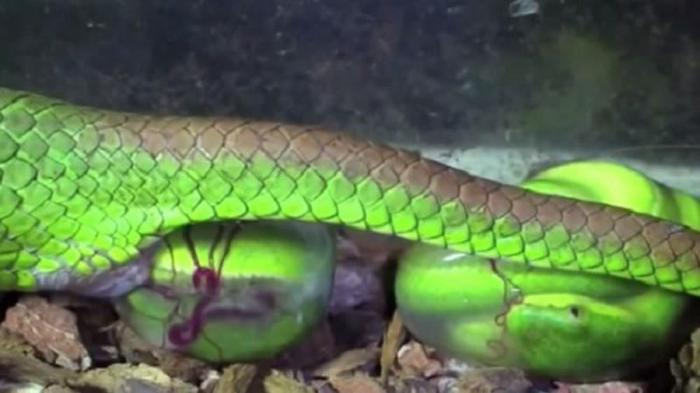 Giải mã nằm mơ thấy rắn đẻ con nên đánh số mấy? 533603706