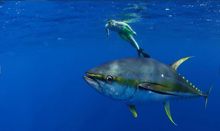 Nằm mơ thấy cá ngừ đánh con gì trúng lớn? 856141577