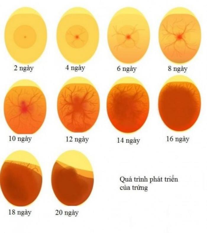 Hướng dẫn cách soi trứng gà đơn giản, hiệu quả 1146945781