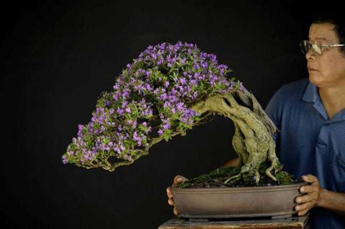 Cây Linh Sam – Cây bonsai của những người quân tử 1462757754