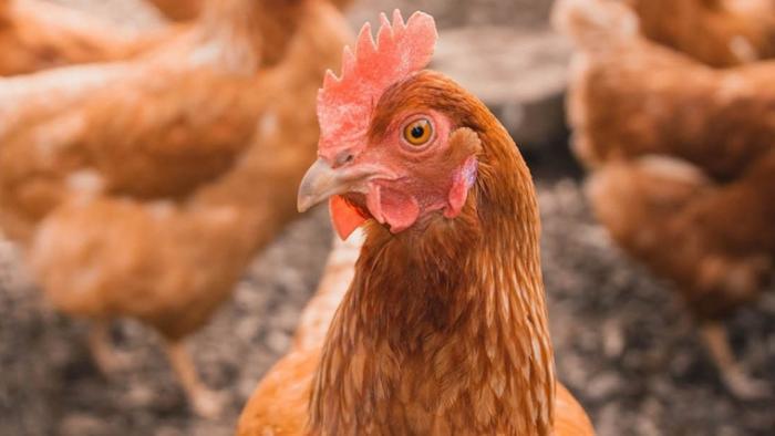 Cách điều trị gà bị cúm như thế nào hiệu quả cao?  706845352