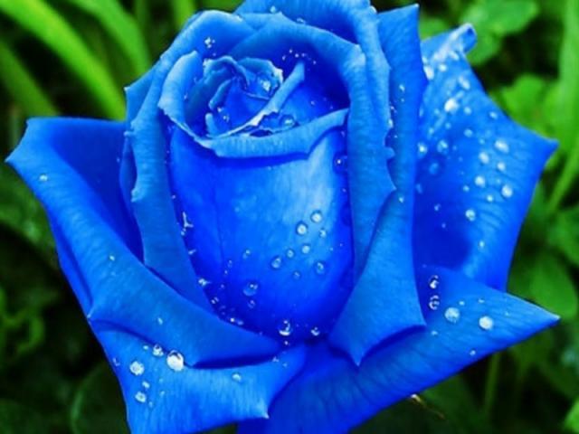 Ý nghĩa hoa hồng xanh - Loài hoa tình yêu bất diệt 161961349
