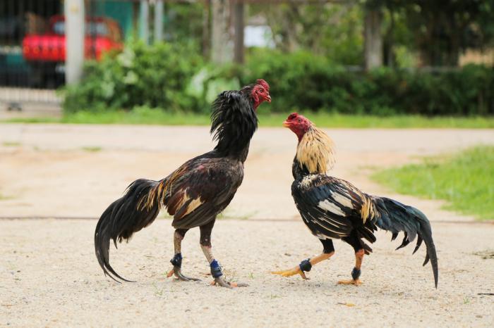 Hướng dẫn cách kích thích gà ra lông chuẩn nhất  1350456588