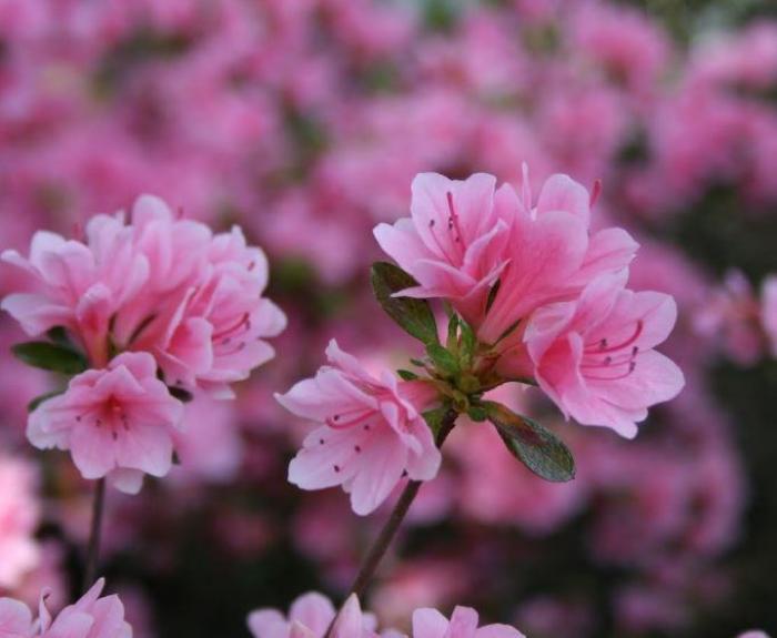 Ý nghĩa của hoa Đỗ Quyên trong phong thủy và cuộc sống 954130837