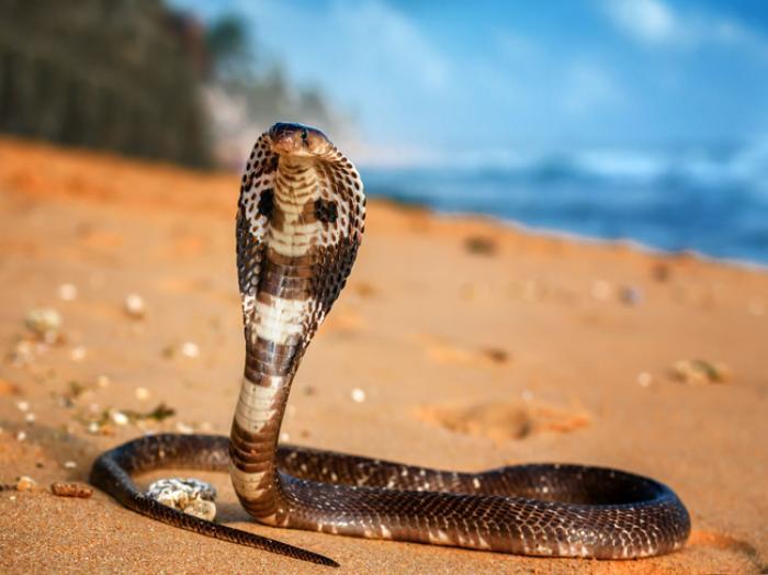 Mơ thấy rắn hổ mang đánh con gì vét tiền cả làng? 1681547457