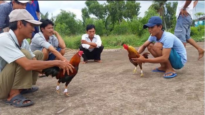 Đá gà Miền Tây là gì? Trại đá gà nổi tiếng của miền Tây 1145252487