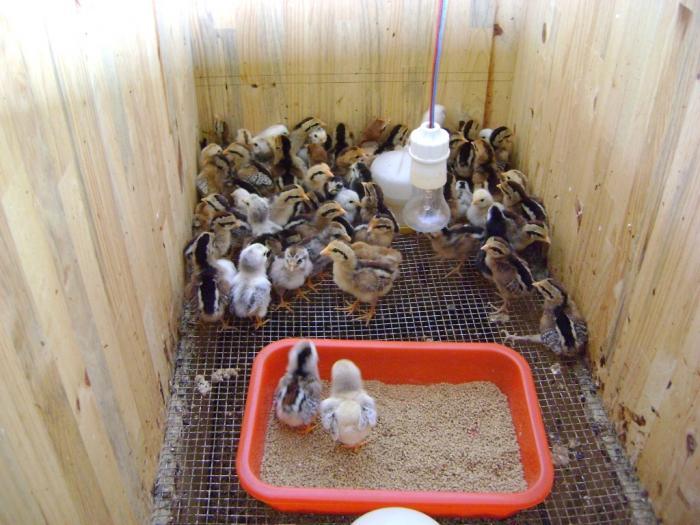 Khám phá kỹ thuật nuôi gà con chuẩn nhất  1084622288