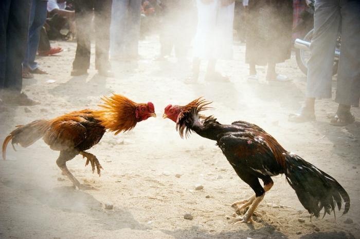 Chia sẻ về cách làm gà sung sức và máu chiến hơn 216289109