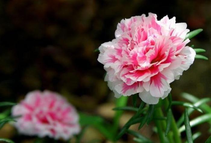 Ý nghĩa hoa Cẩm Chướng có gì thú vị? 1693595123