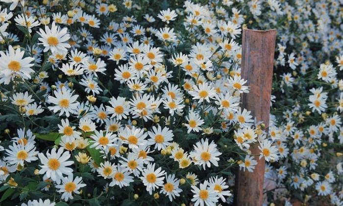 Mơ thấy hoa cúc đánh con số gì trúng lớn khi chơi lô đề? 1356318085